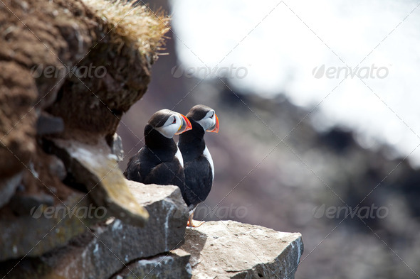 Puffin - Stock Photo - Images
