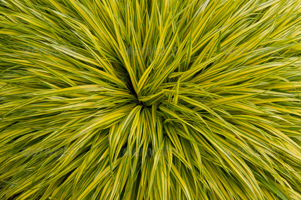 Yellow and Green Grass Plant in Season - Stock Photo - Images