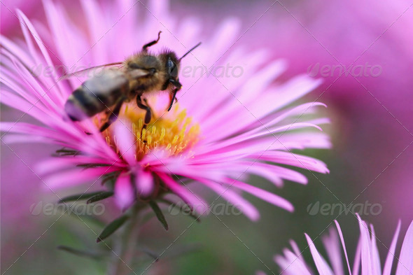 Bee on a flower12 - Stock Photo - Images