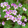 Pink oxalis(Oxalis corymbosa) - PhotoDune Item for Sale
