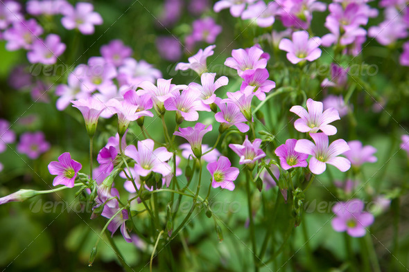 Pink oxalis(Oxalis corymbosa) in garden - Stock Photo - Images