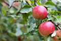Apple Orchard Branch With Fruits - PhotoDune Item for Sale
