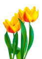 Yellow tulips isolated on white background - PhotoDune Item for Sale