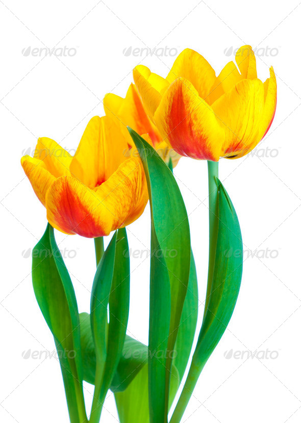Yellow tulips isolated on white background - Stock Photo - Images