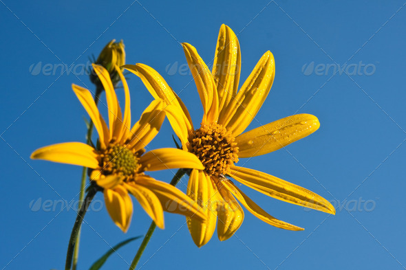 Yellow wildflower against blue sky - Stock Photo - Images