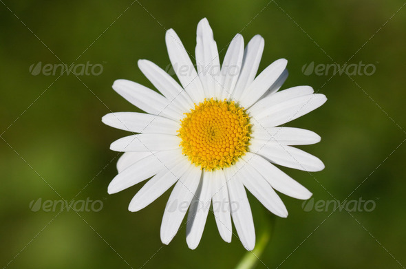 Closeup of a beautiful yellow and white Marguerite, Daisy flower - Stock Photo - Images