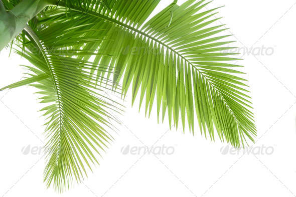 Palm tree - Stock Photo - Images