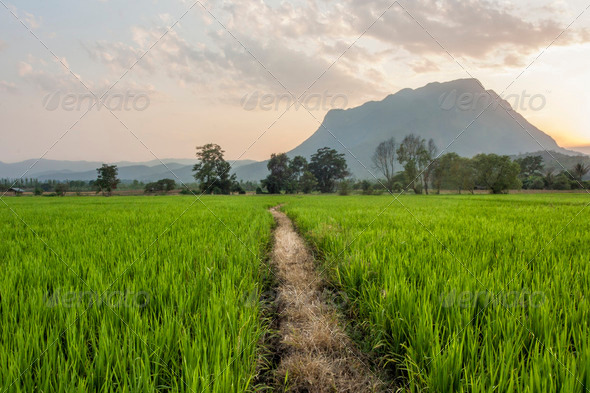 Path through rice fields - Stock Photo - Images