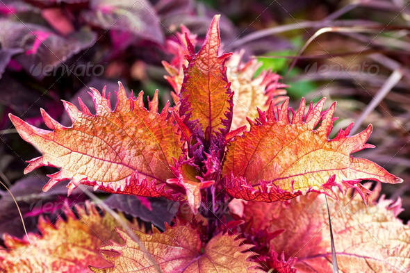 Fancy Leaf Coleus - Stock Photo - Images