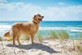 Golden retriever on a sandy dune overlooking beach - PhotoDune Item for Sale