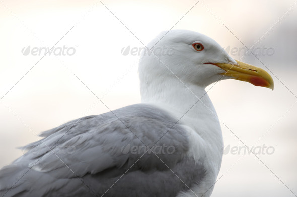 Gull - Stock Photo - Images