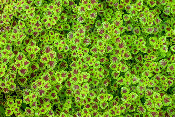 Coleus - Stock Photo - Images