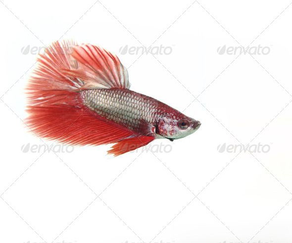 Red betta fish - Stock Photo - Images