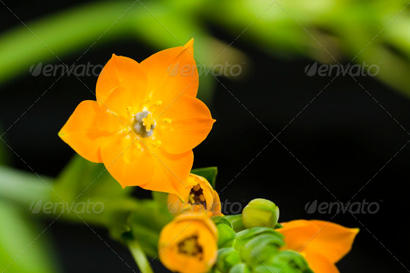Ornithogalum Dubium - Stock Photo - Images
