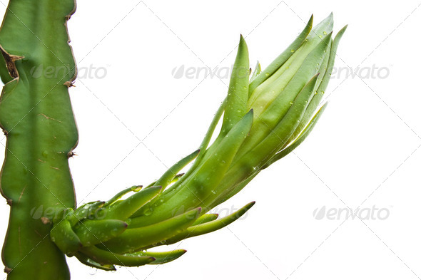 dragon fruit bud on a tree isolate on white background - Stock Photo - Images