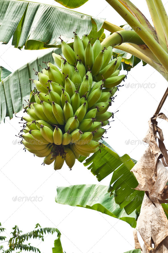 Green young Bananas on a tree, Thailand. - Stock Photo - Images