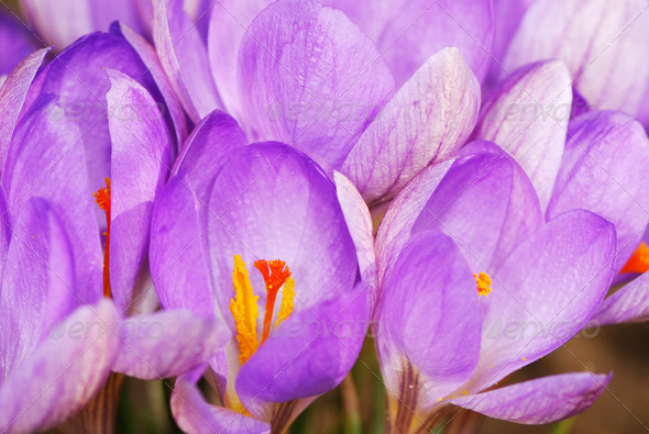 Purple Crocus Flowers - Stock Photo - Images