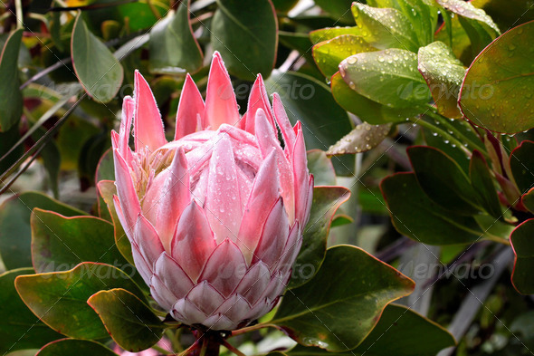 King Protea blossom  (Protea cynaroides) - Stock Photo - Images