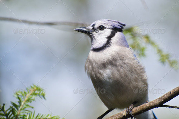 Blue Jay Perched in a Tree - Stock Photo - Images