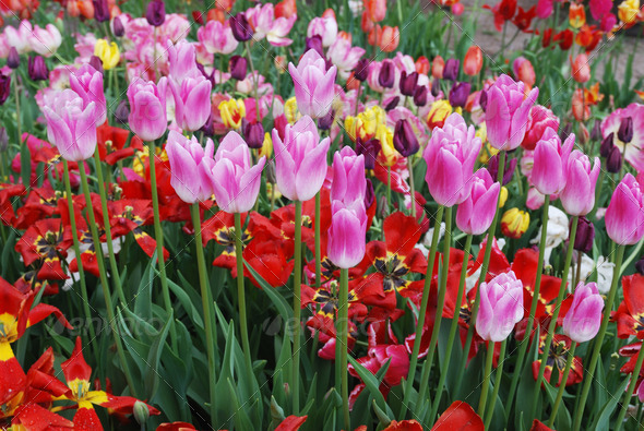 colorful tulips in the garden - Stock Photo - Images