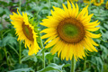 sunflower in the field - PhotoDune Item for Sale