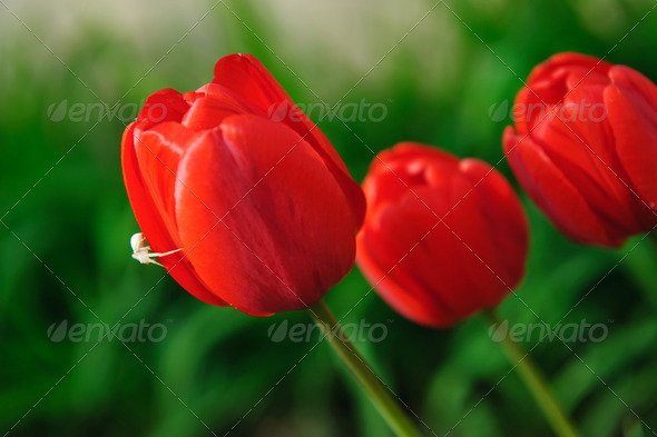 Red tulips with white spider - Stock Photo - Images