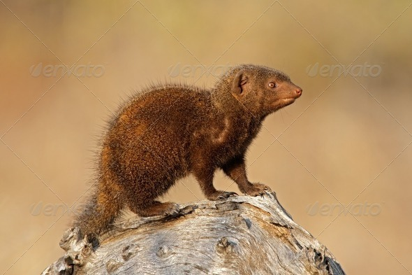 Dwarf mongoose - Stock Photo - Images