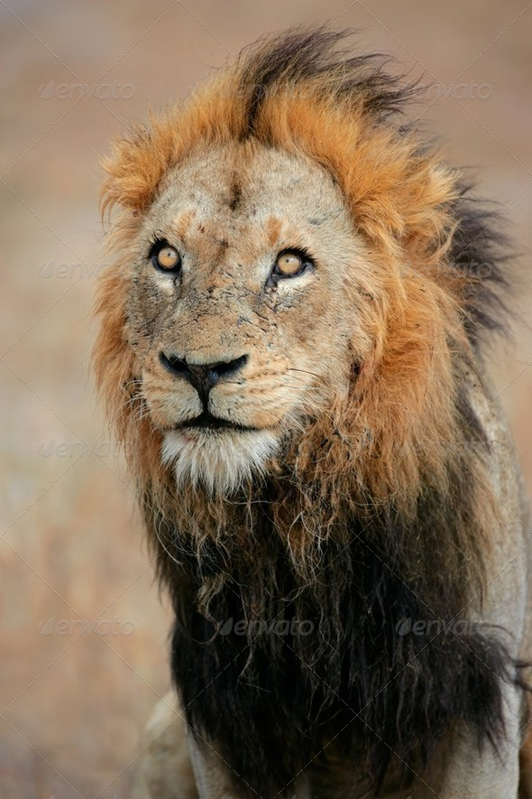 Big male African lion - Stock Photo - Images