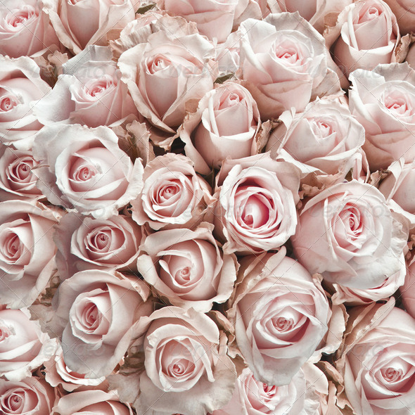 Pink vintage roses - Stock Photo - Images