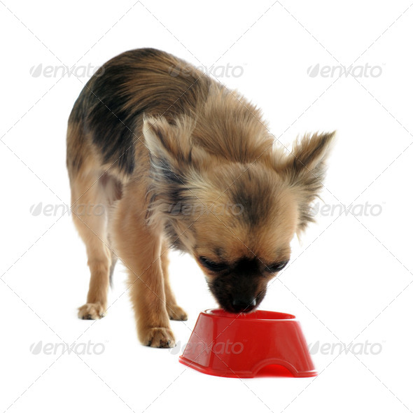 puppy chihuahua and food bowl - Stock Photo - Images