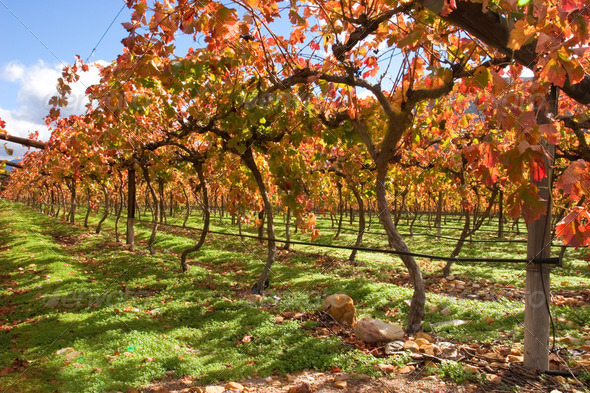 Vineyard - Stock Photo - Images