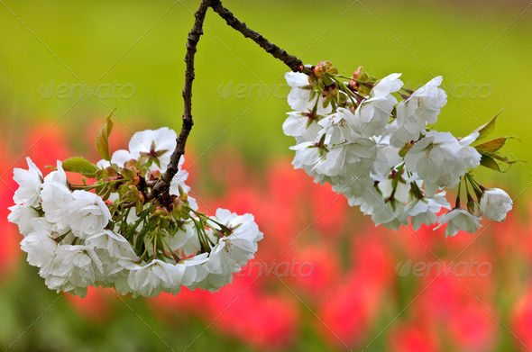 White apple blossom against a red tulip background - Stock Photo - Images