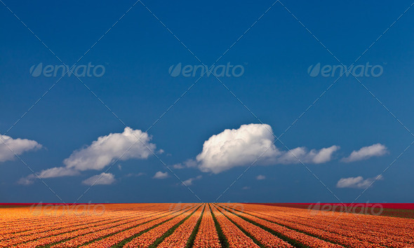 Panoramic view of a colorful field with tulips - Stock Photo - Images