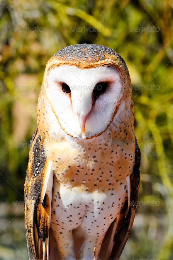 Barn Owl - Stock Photo - Images