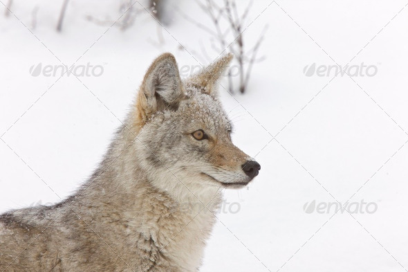 Yellowstone Park Wyoming Winter Snow coyote - Stock Photo - Images