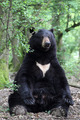 American black bear - PhotoDune Item for Sale