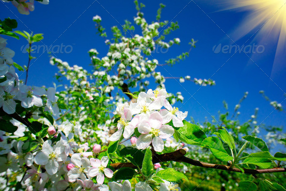 Blooming apple tree. - Stock Photo - Images