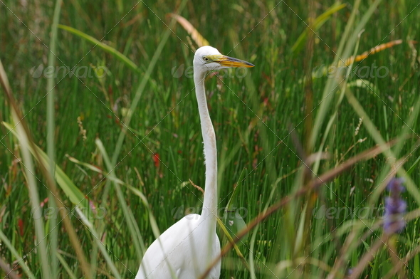 Egret in Everglades - Stock Photo - Images