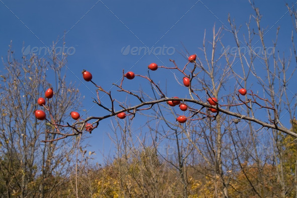 Branch of wild rose - Stock Photo - Images