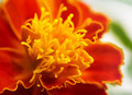 Macro marigold flower - PhotoDune Item for Sale