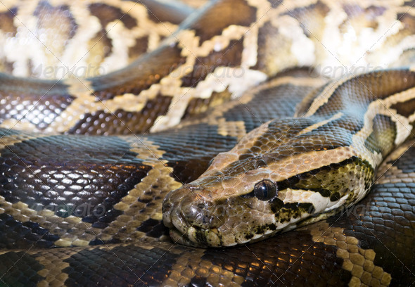Closeup python - Stock Photo - Images