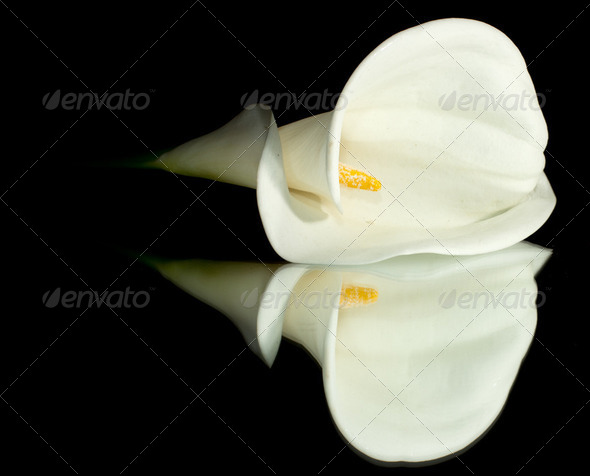 White Calla Lilly - Stock Photo - Images