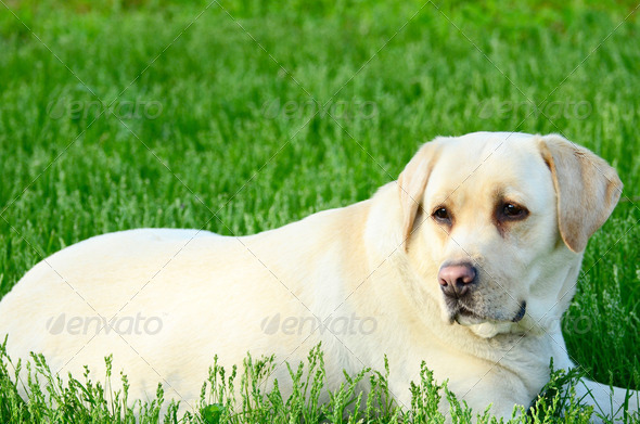 Portrait of beautiful labrador retriever - Stock Photo - Images
