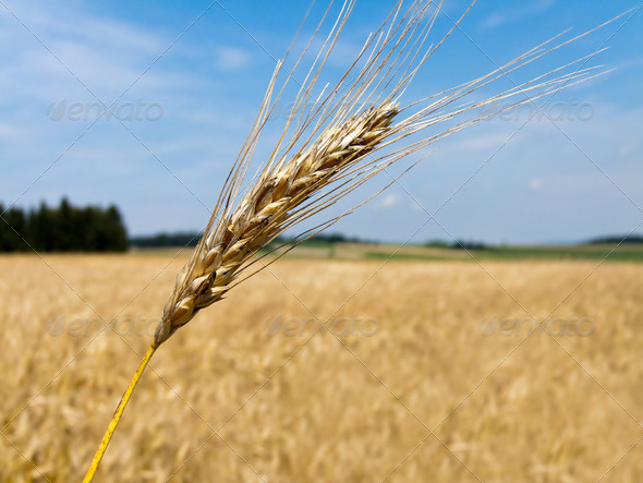 wheatfield with barley spike - Stock Photo - Images