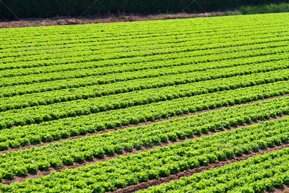 Salad field rows - Stock Photo - Images