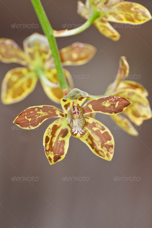 beautiful orchid with ..Grammatophyllum scriptum - Stock Photo - Images