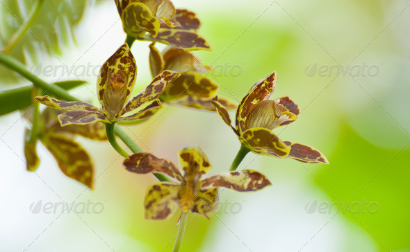 Beautiful orchid with blue background..Grammatophyllum scriptum - Stock Photo - Images