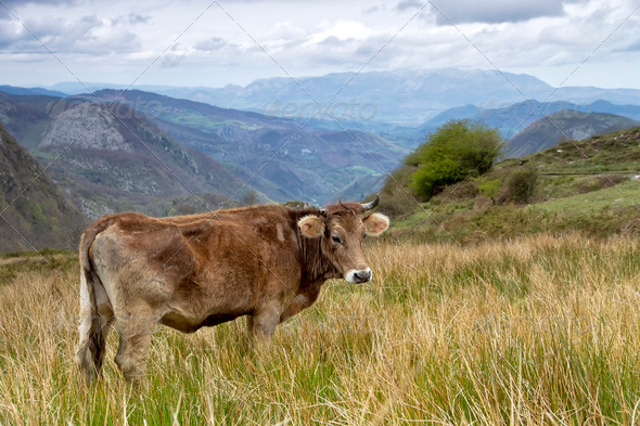 Cow on a pasture Asturias - Stock Photo - Images