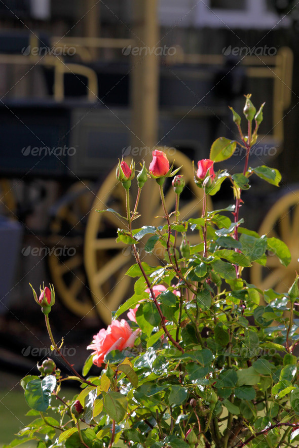 Roses and old covered wagon - Stock Photo - Images