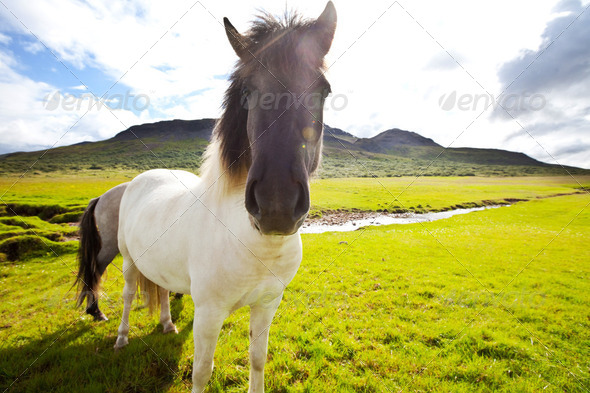Horse in Iceland - Stock Photo - Images